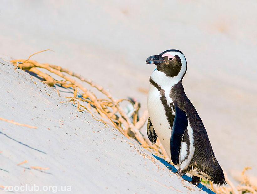 фото очкового пингвина