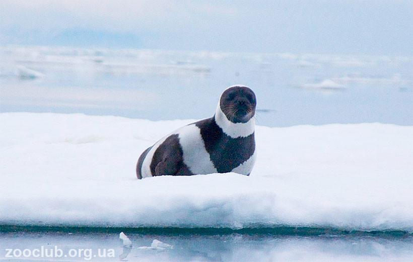 фото полосатого тюленя