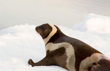 Полосатый тюлень