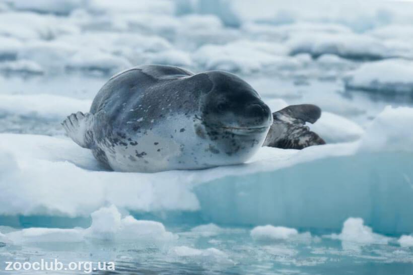 фото Морского леопарда