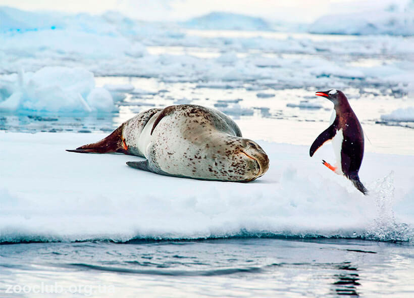 морской леопард ест пингвина