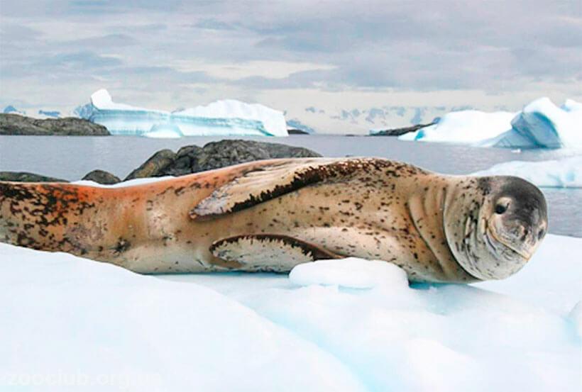 чем питается морской леопард