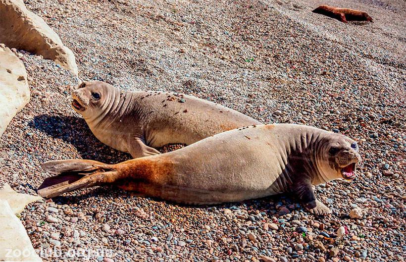 морской южный слон фото