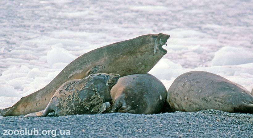 морской слон размеры