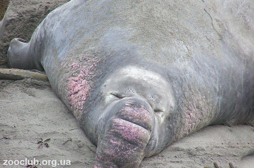 морской слон картинки