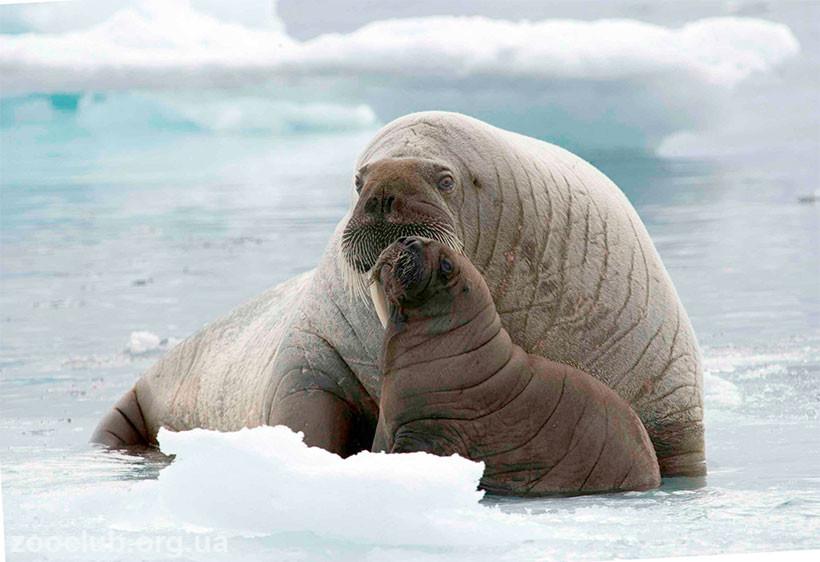 сообщение о морже