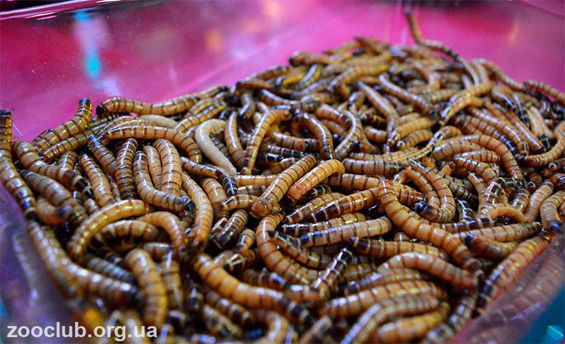 личинки мучного жука