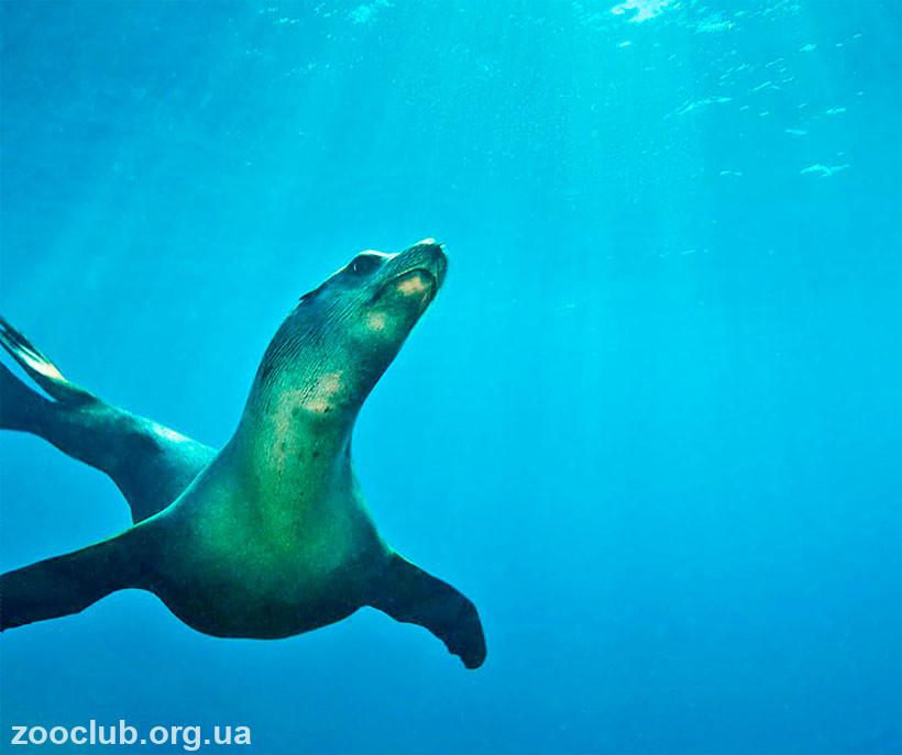 где живет морской лев