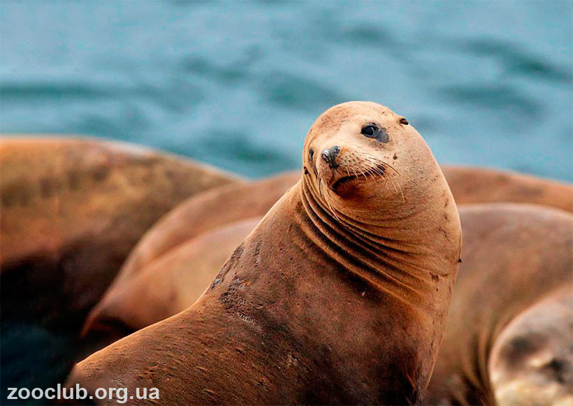 какого цвета морской лев
