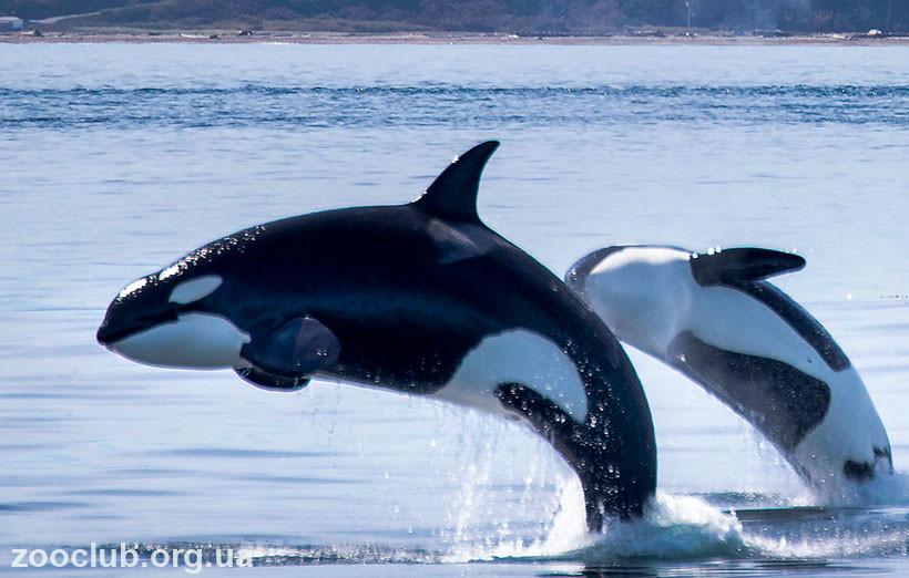 фото Orcinus orca