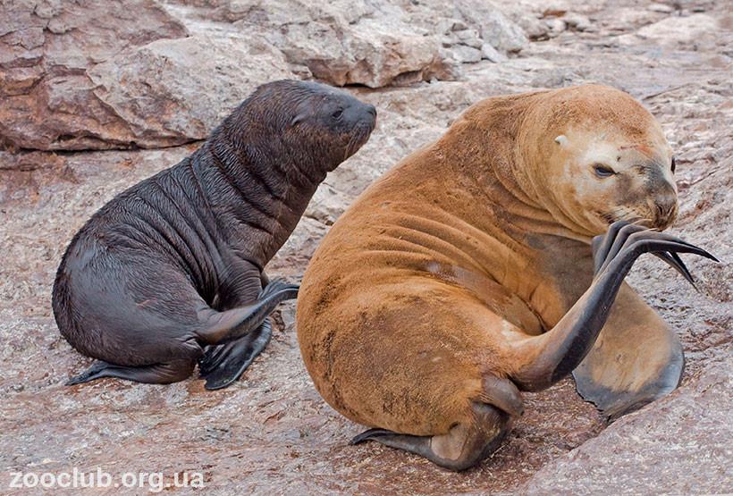 фото южного морского льва