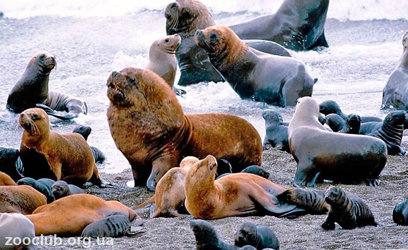 морской южный лев фото