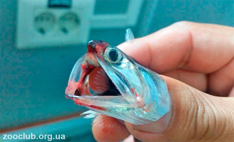 фото перуанского анчоуса
