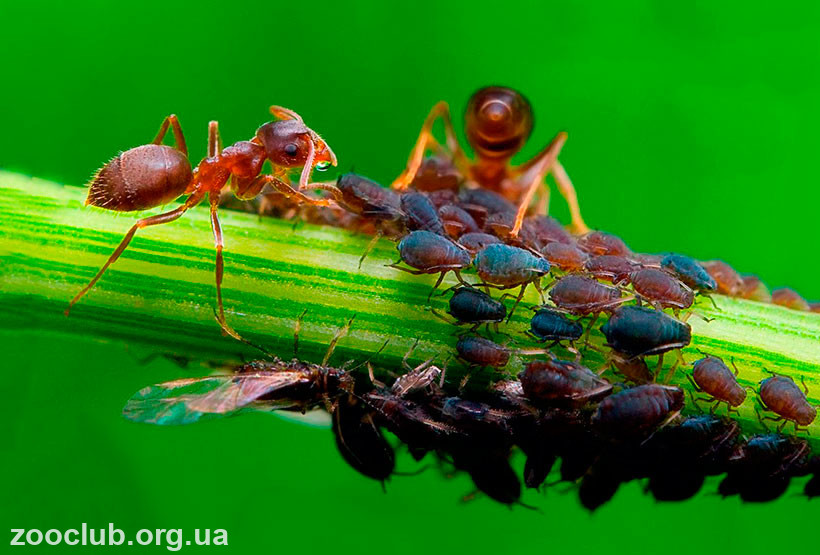 фото черного садового муравья