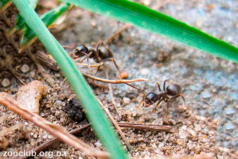 черный садовый муравей чем кормить
