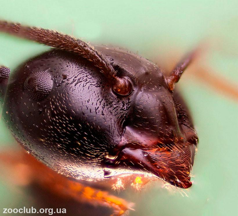 что едят садовые муравьи