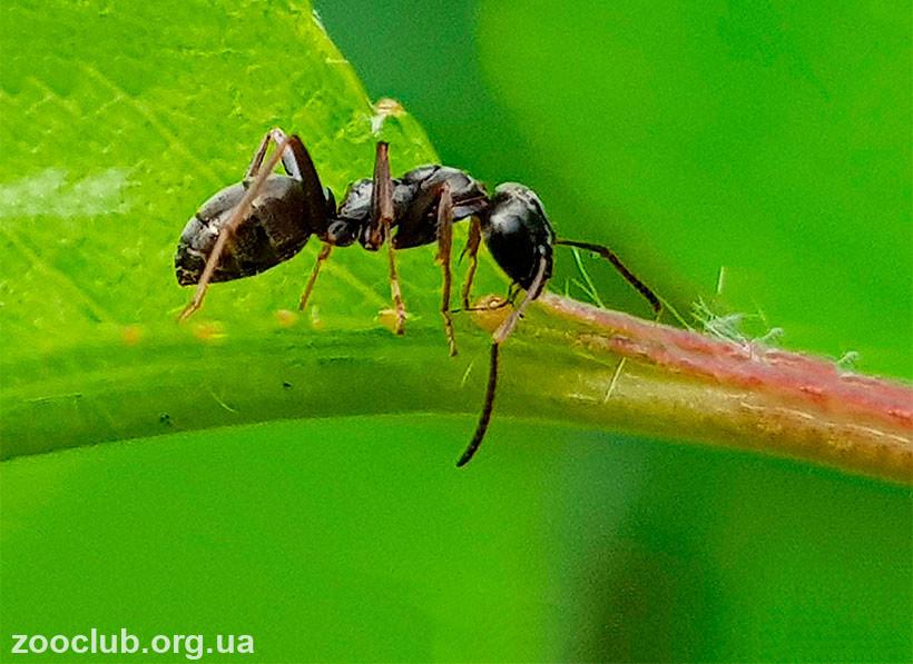 большие черные муравьи