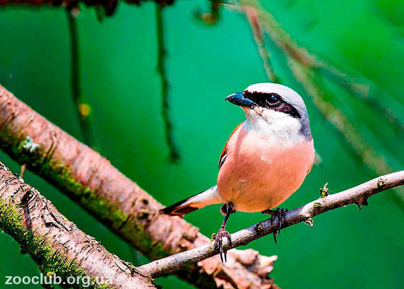 сорокопут-жулан птица