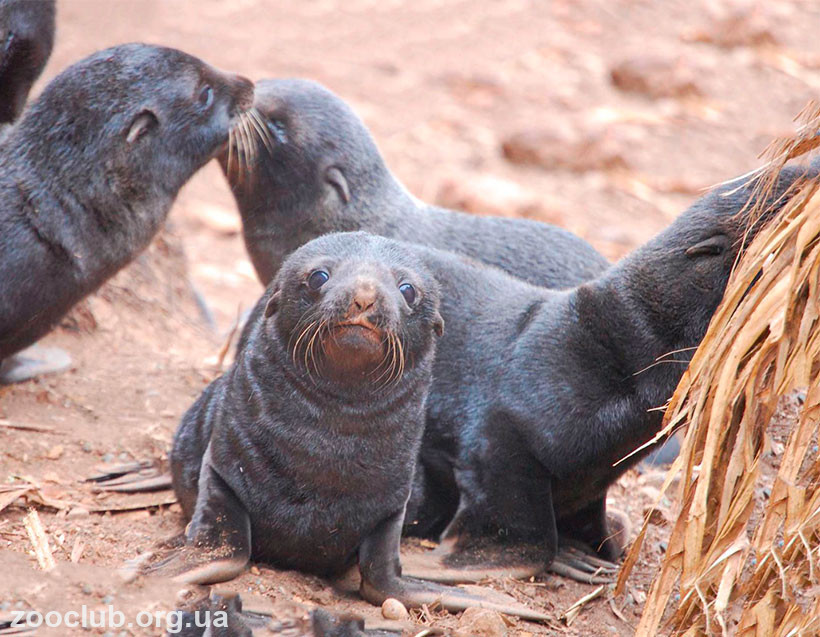 морские котики фото