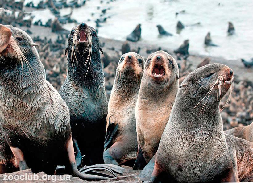 фото морские котики