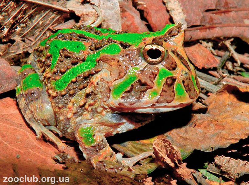 лягушка рогатка фото