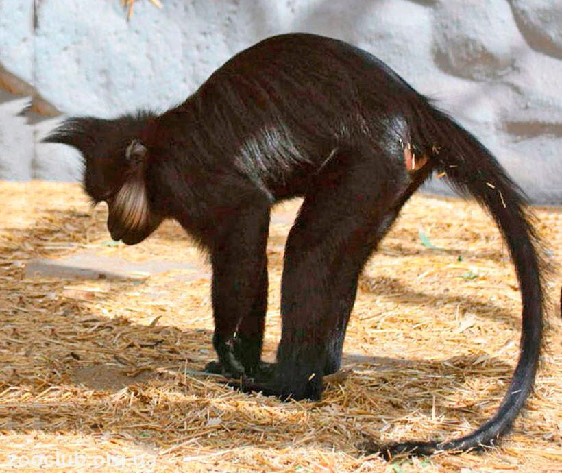 Фото черного мангобея