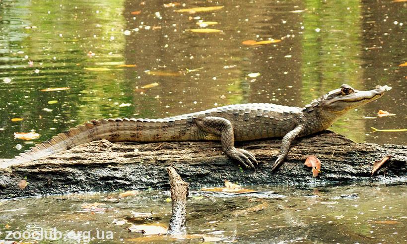 чем кайман отличается от крокодила
