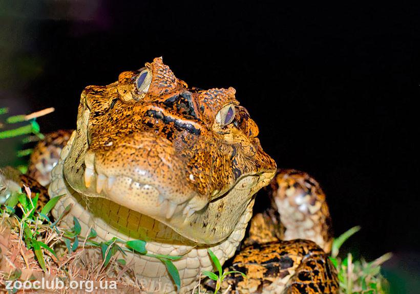 кайман крокодил купить