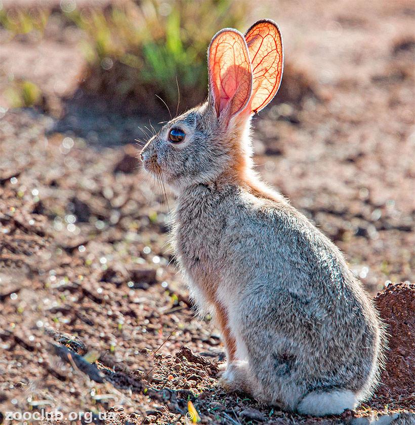 Фото степного кролика