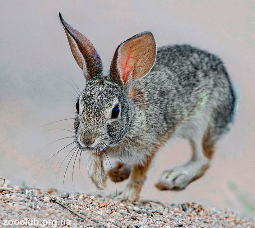 кролик степной фото