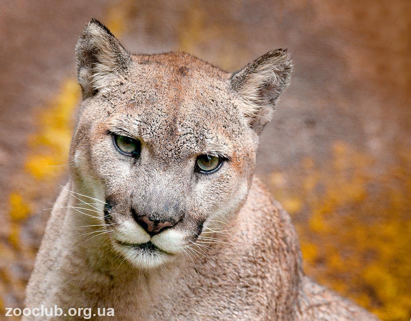 Puma concolor фото