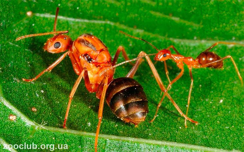 Фото желтого сумасшедшего муравья