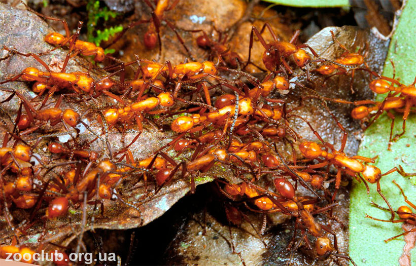 муравей желтый сумасшедший