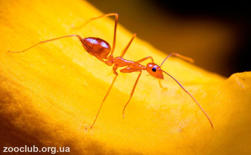 сумасшедший желтый муравей
