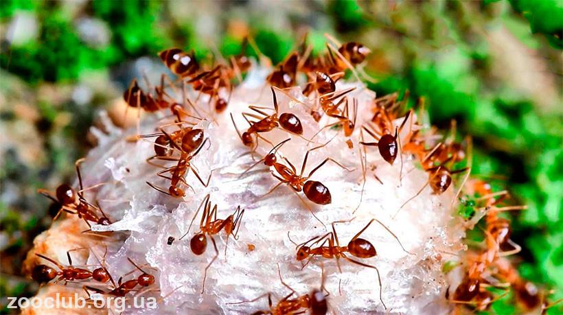 Фото Anoplolepis gracilipes