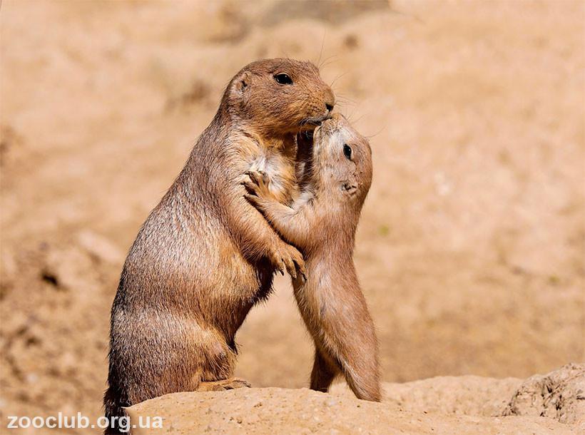 луговые собачки целуются