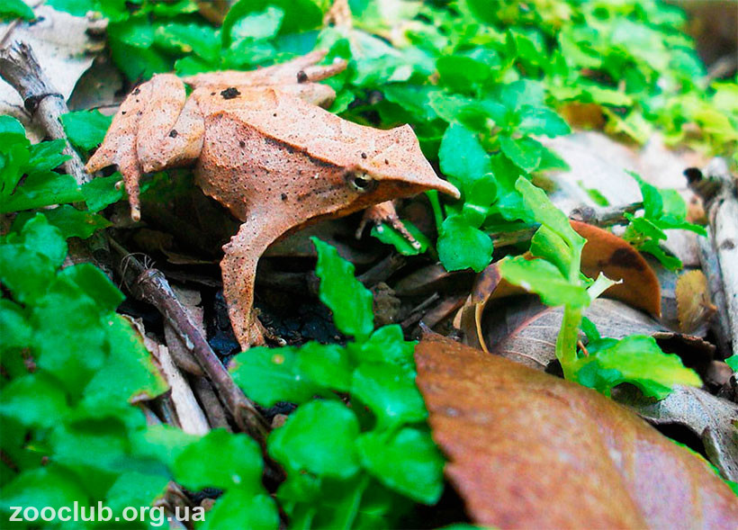 лягушка Ринодерма Дарвина