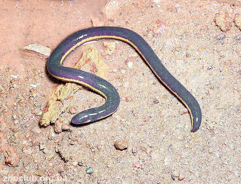 фото Ichthyophis glutinosus