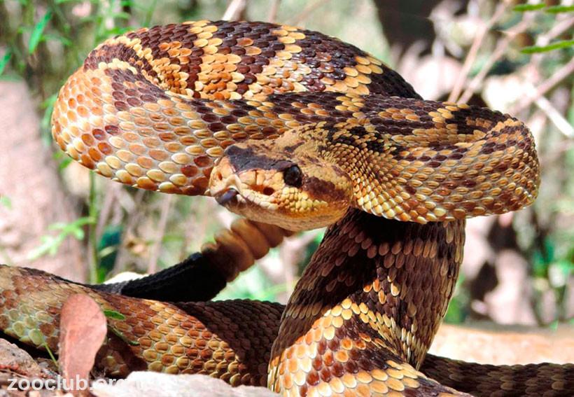 фото Crotalus molossus