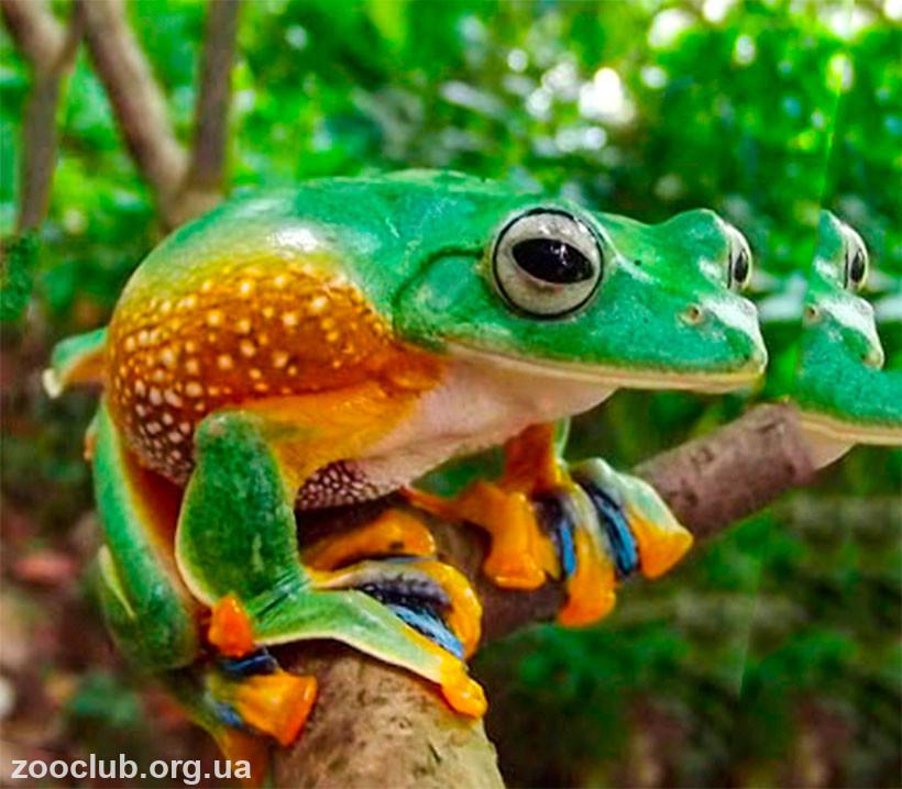 фото яванской веслоногой лягушки