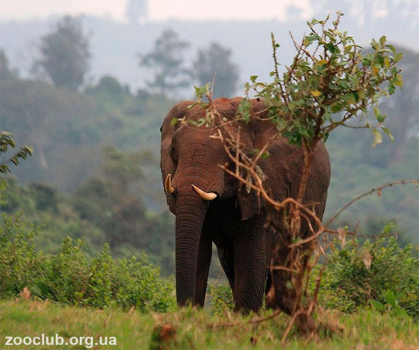 фото африканского слона