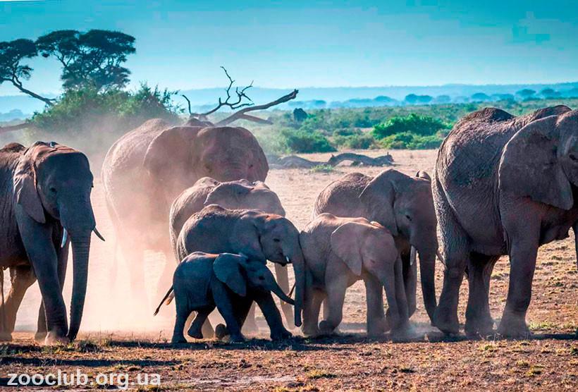 Слоны африканские