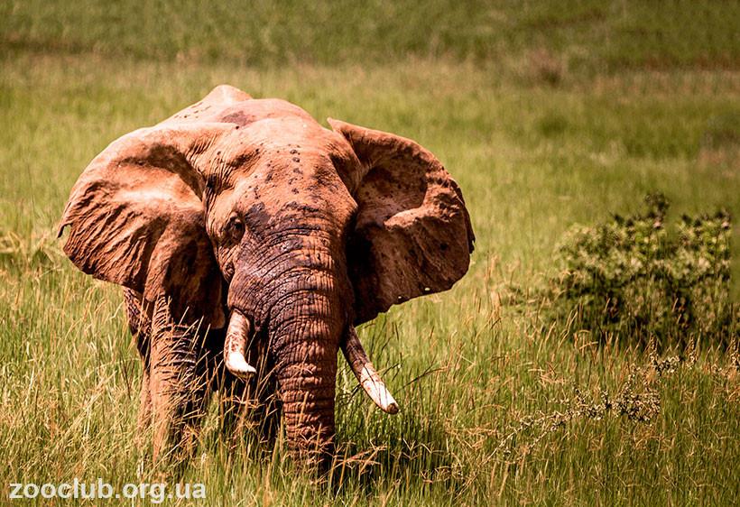 африканский слон вес