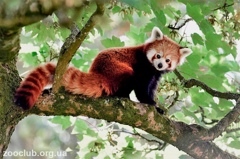 малая панда где обитает