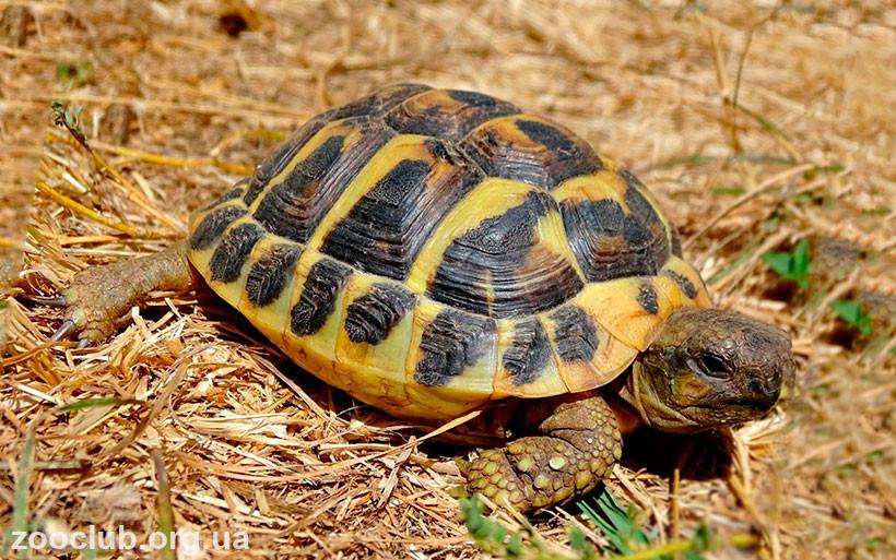 балканская черепаха купить