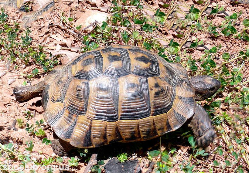 черепаха балканская
