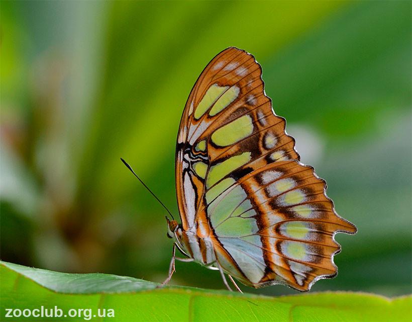 фото малахитовой бабочки