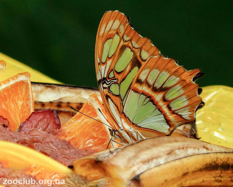 бабочка малахитовая