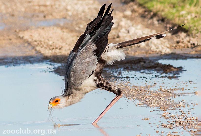 где обитает птица секретарь
