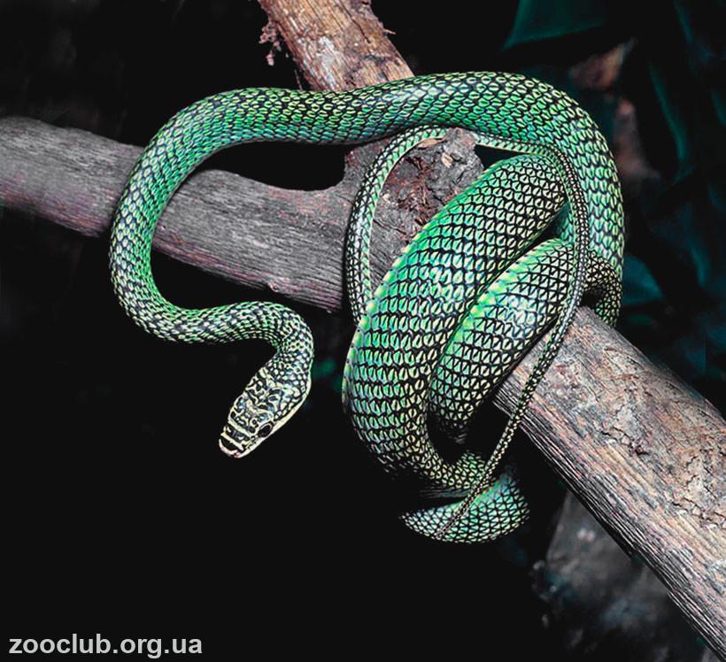 фото змеи украшенной обыкновенной